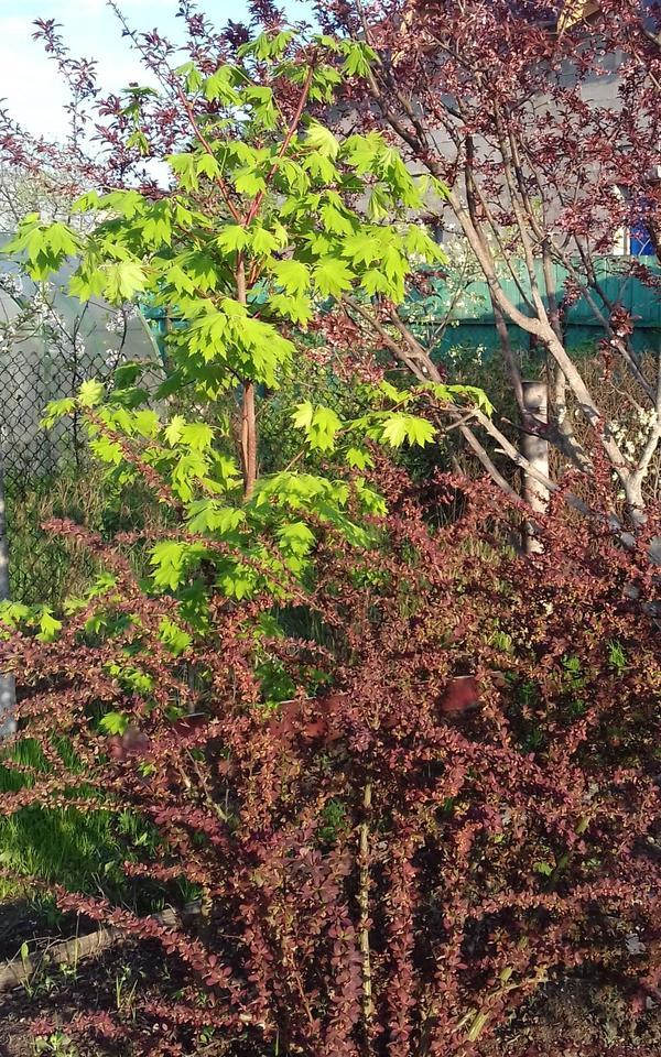 Растет медленно мой красавец с красными веточками и очень резными листочками, а какие они осенью!))