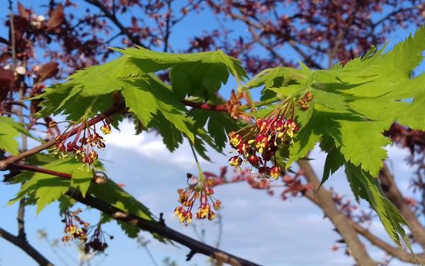 Вот так он цветет, и семена-вертолетики в три раза меньше семян обычного клена, даже трхлопастные были)) Извини, не сфоткала.