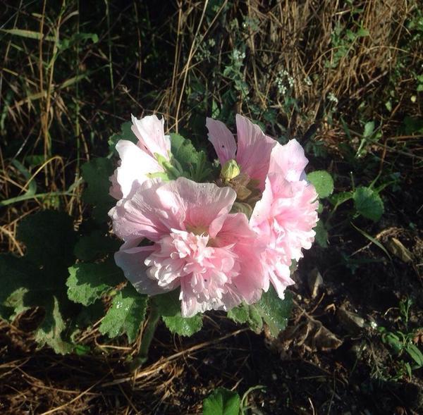 """А еще вот такая """"Красавишна"""" взялась откуда-то... Розовая :)))) Низкорослая, совсем крохотная, но очень пышно цветущая ..."""