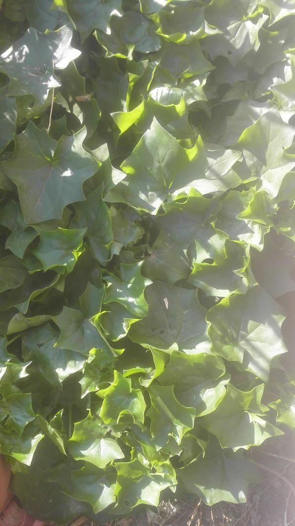 Ползучий кленок с гладкими, тонкими и сочными листьями. Рос дома в горшке, но на улице чувствует себя лучше