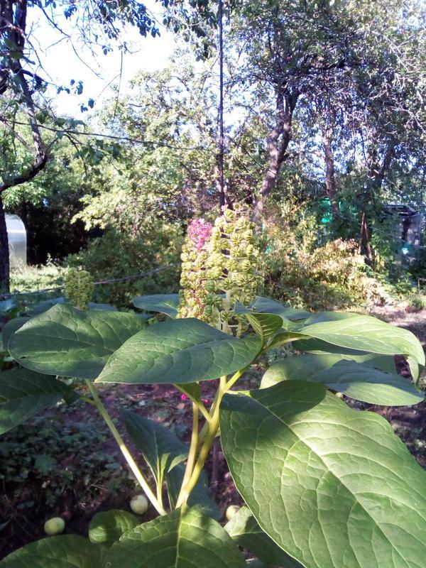 что за цветок/растение? растёт на даче, в саду..