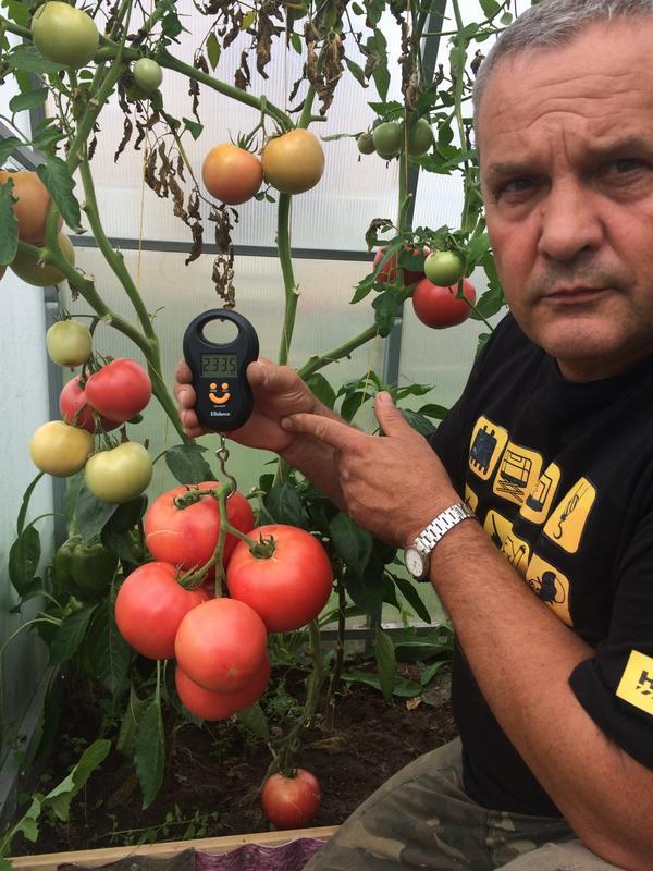 Кисть помидор МАЛИНОВЫЙ ЗАКАТ весом 2335 грамм.