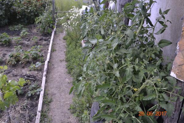Вот эти помидоры посажены в шины машины и сторона солнечная,почва в шинах быстро сохнет,и поэтому поливал через 3 на четвертый день,и плоды в плодоножках трескались