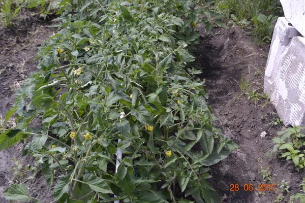 А эти помидоры меньше полива,плоды не трескались и не болели.