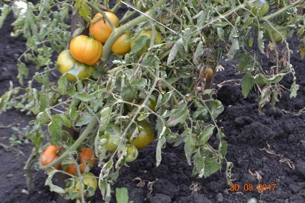 А эти помидоры и нижнее фото после завези вообще прекратил полив.