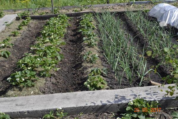 Вот выращиваю клубнику в открытом грунте,хотя в России.