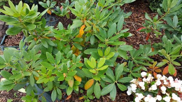 Желтые листья родедендрона