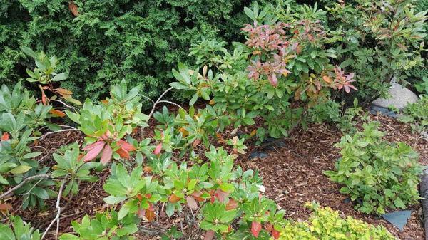 Красные листья рододентдрона