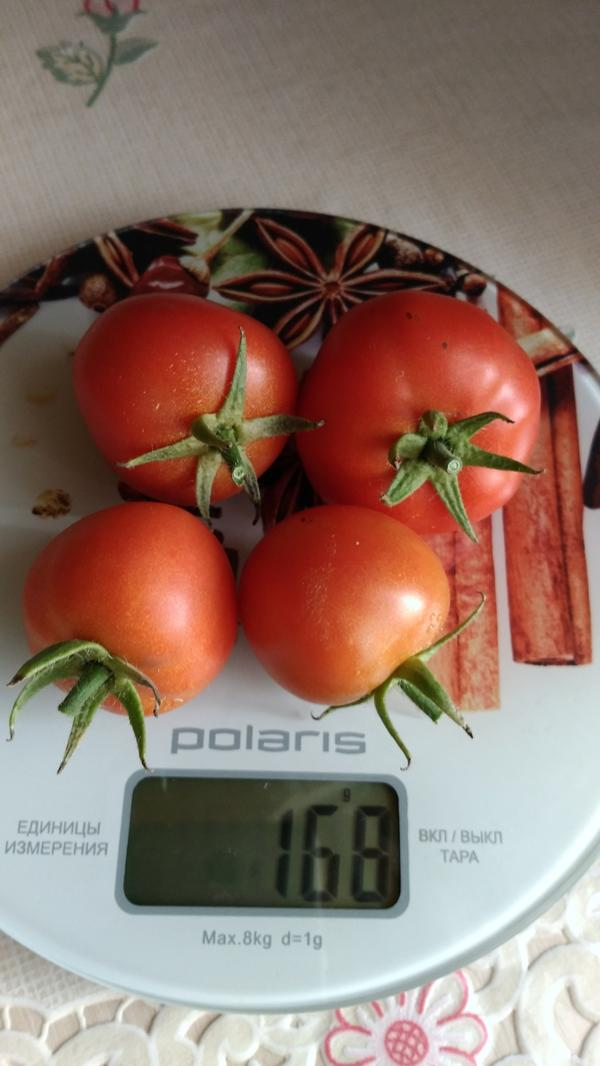Весят они 168 г.Если учесть, что предыдущие четыре сбора дали 3 901 г.,то мы получим: 3901+168= 4069г. Это наилучший результат по моим Любашам и я им очень довольна, потому что этот гибрид дал самый ранний урожай спелых томатов,а для конца сезона у меня много других сортов и гибридов.