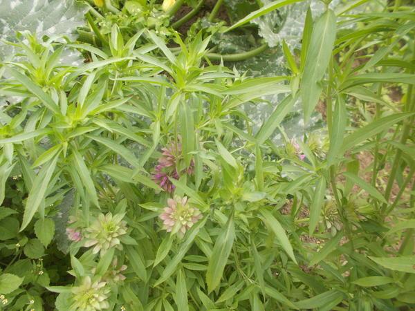 Что это за растение?Запах пряной травы вроде.