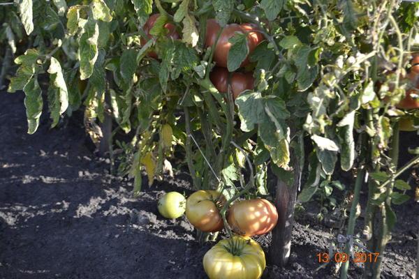 Вот некоторые листья сохнут,желтеют и ничего страшного плоды зреют.