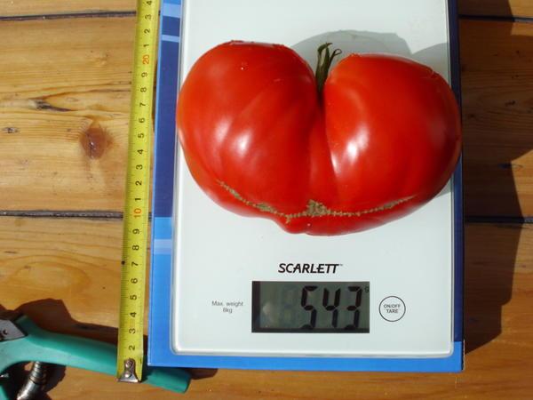 томат на весах