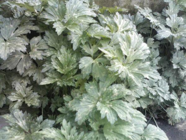 Подскажите, что это за растение? Растет в Беларуси.