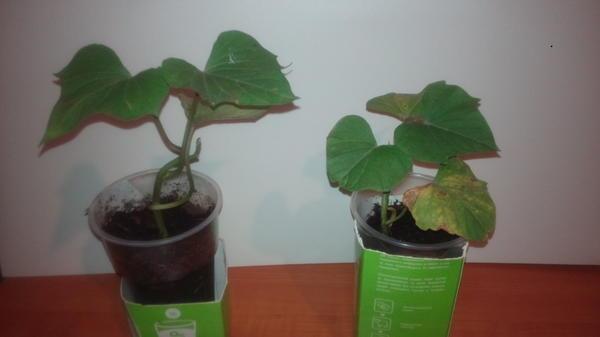 можно по листьям и корнеплодам определить сорт батата? Было два сорта Берегард и Джавел.