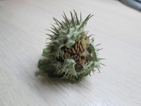плод какого растения показан на фото  ?