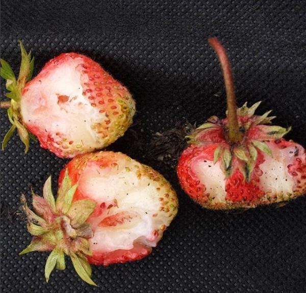 Может быть кто подскажет - как бороться с мышками или еще кем, которые поели у нас в этой году львиную долю ягоды?