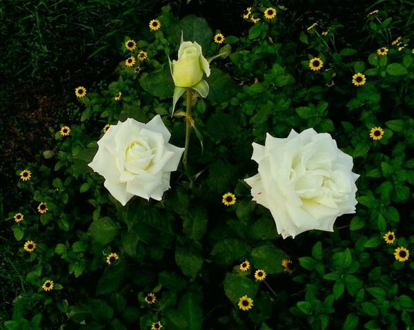 Звёздочки циннии Санвиталии Распростёртой вокруг роз.
