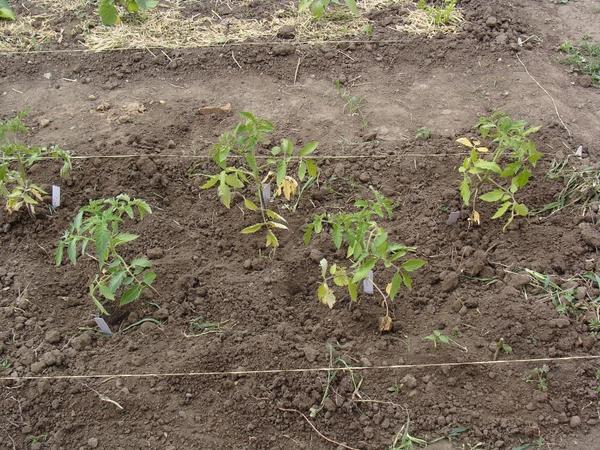 Высажены в грунт