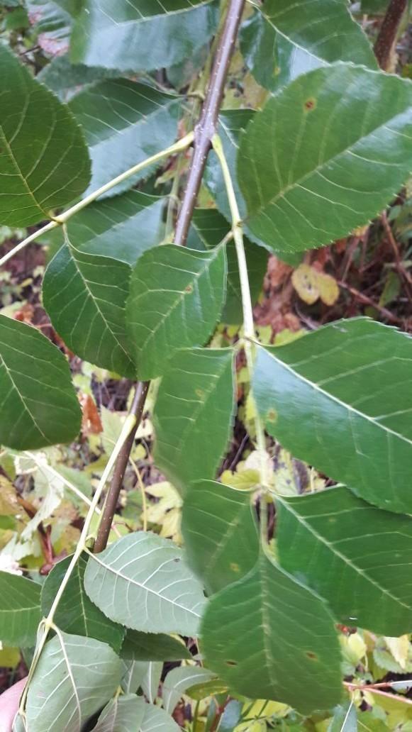 Листья глянцевые как у лавра, ветки похожи на черемуху