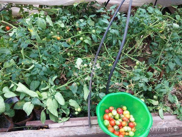 Осенью помидоры и огурцы опять под плёнкой