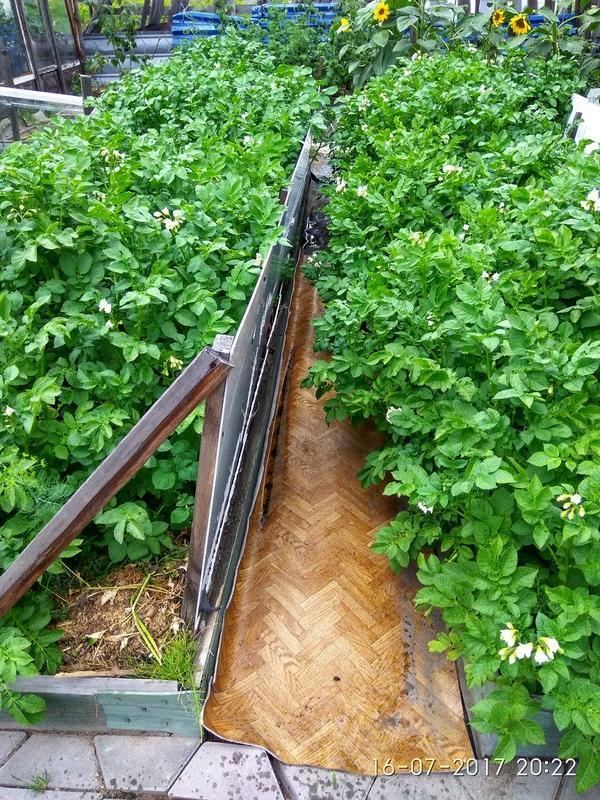 Картошке нравится так расти и нам удобно.Не всё красиво, но есть к чему стремиться