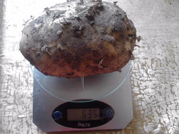 Нам приятно, когда вырастает такая картошечка