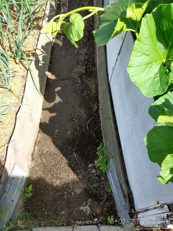 Корешки тыквы и патиссонов под линолеумом