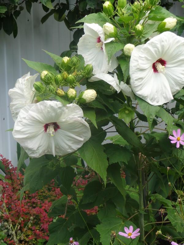 Цветы диаметром до 25 см