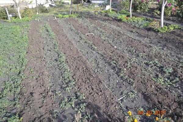 Вот грядки посадил лук и чеснок и замульчировал навозом-перегноем,коричневая полоса посажен лук и чеснок и замульчировал навозом.