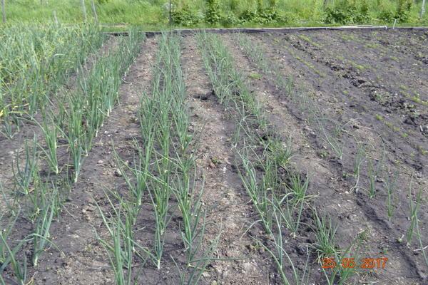 Вот так выращиваю лук