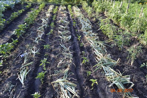 Вот такой результат,лук уберется,а перец будет расти.А на фото с правой стороны растет помидоры,тоже посажено было в луке,лук убрал,а помидоры вон как расту.т.