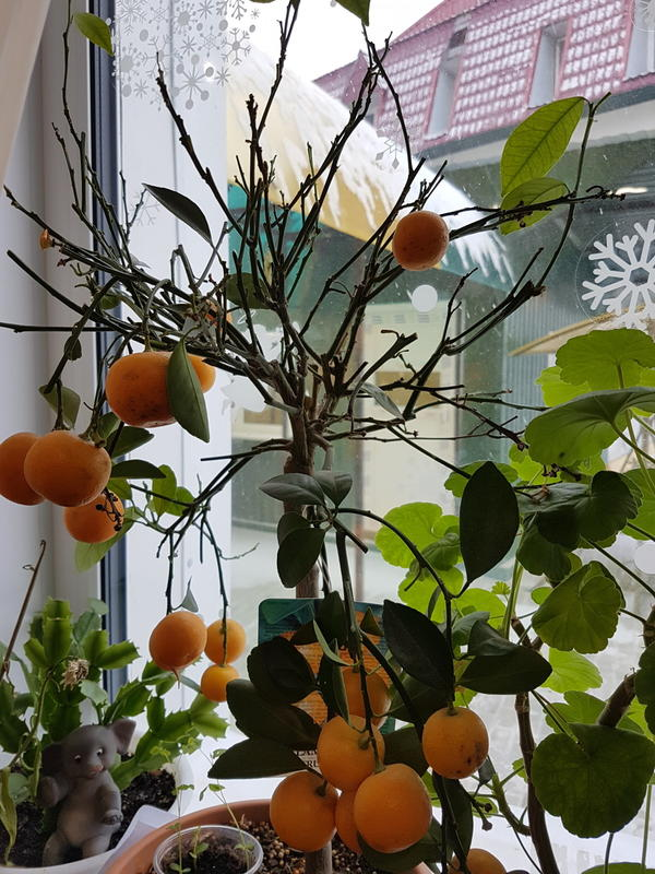 Что с моим мандарином? Сбрасывает лисья. Ветки сохнут. Пересадила в новую землю для него. Обработала немного корневином. Но опадает дальше. Могу потерять дерево. Как вернуть его к жизни?