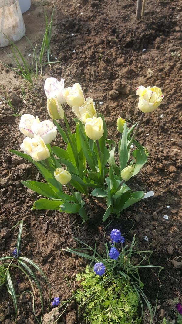 Этот юльпаны, меняющие цвет, вначале цвететния...