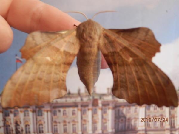 Это ночная бабочка, которая появляется из такой гусеницы.