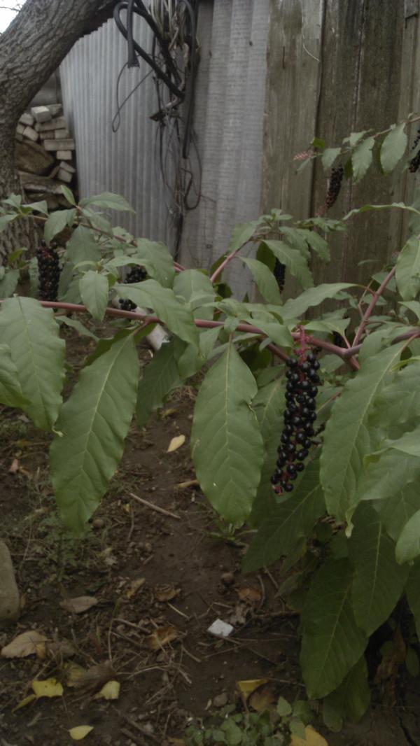 Что это за растение и съедобны ли его плоды?