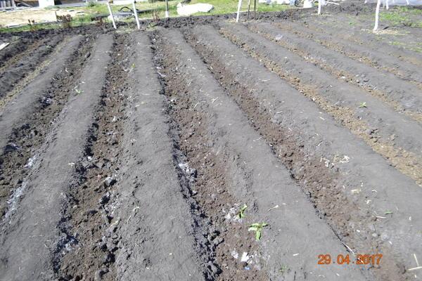 Вот сажал картофель,замульчировал,правда навозом-перегноем,по мере роста картофеля буду окучивать и в гребень превратиться в бороздку.