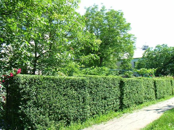 С юга сад защищён зелёной изгородью.