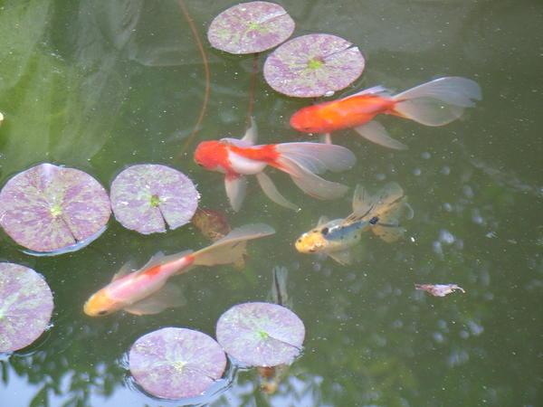 Рыбки в саду живут круглый год.