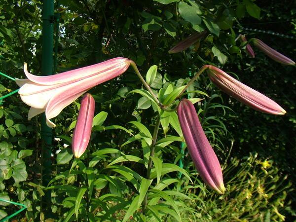 Лилии всегда украшают сад.Их у нас в саду много.