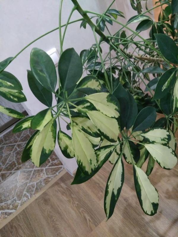 Вот ещё фото. Подскажите пожалуйста, как за ним ухаживать,стали сильно опадать листья.