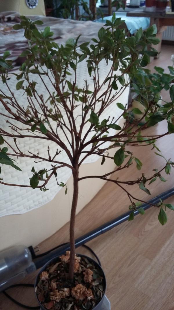 Это само деревце. Цвело белыи цветами (лежат внизу засохшие)