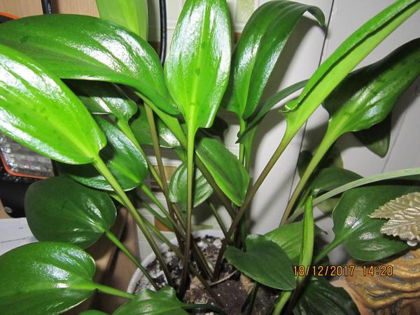 Подскажите пожалуйста название,корень клубнем,листья продлинговатые,очень нежные,при цветении выбрасывает стрелку неприметную, с мелкими, слабо заметными цветочками