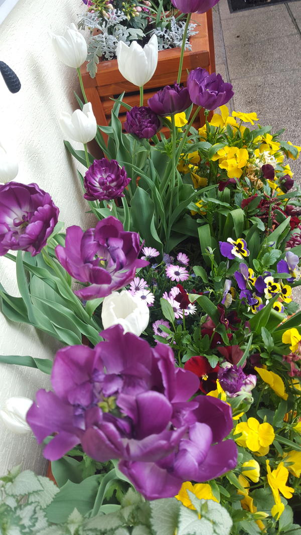 В ящиках тоже всё нормально, только разная высота тюльпанов, не знаю почему...