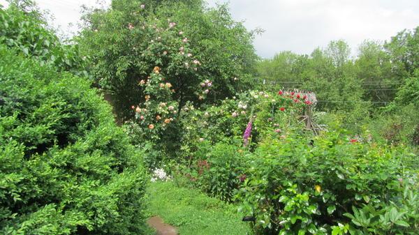 Роза в кроне вишни