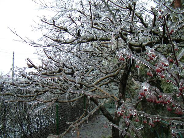 ледяная яблоня