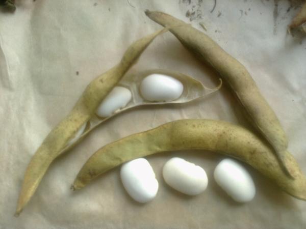 Семена большой белой фасоли