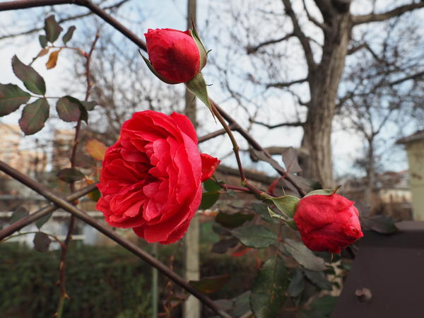 Рождественская роза 2018.