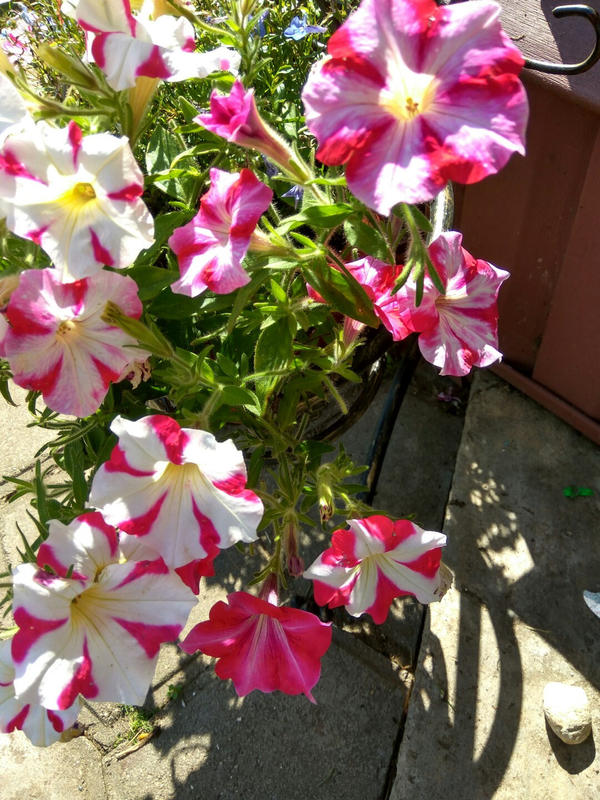 Один куст с цветами различной окраски.