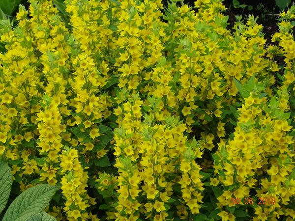 Вербейник, и правда очень яркий и живописный, цветет долго, но быстро разрастается, его сразу надо ограничивать.