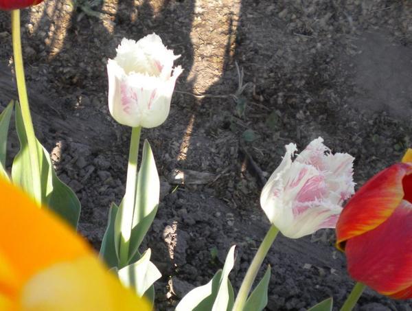 - а потом махровые белые превратились вот в такие бело-розовые с резным краем.